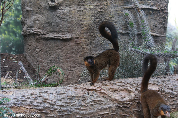 Collared Brown Lemur (Eulemur collaris)