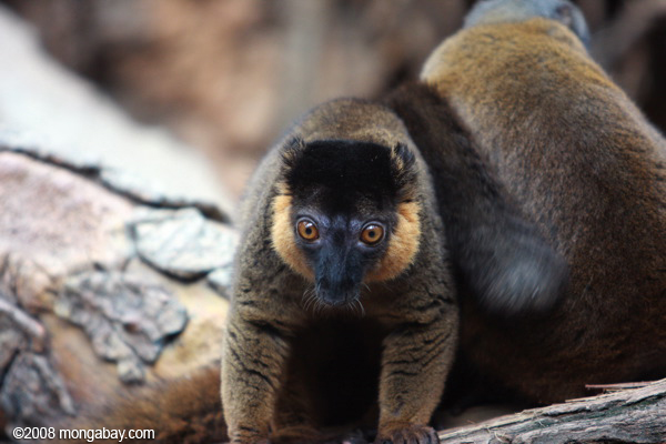 Collared Brown Lemurs
