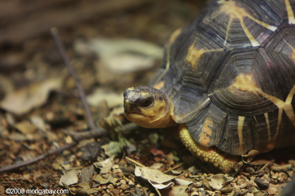 Native to Madagascar, the radiated tortoise is currently listed as Critically Endangered.  Photo by: Rhett A. Butler.