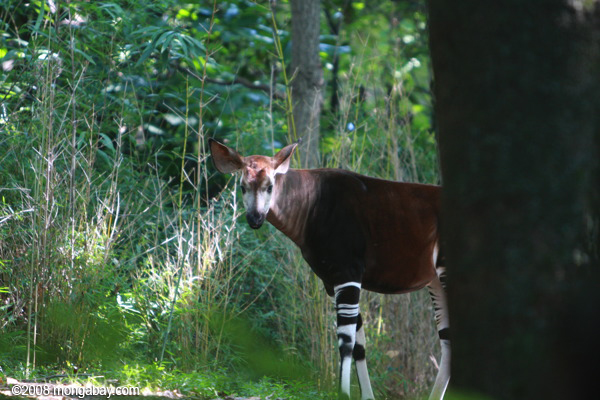 The okapi, which is listed as Endangered by the IUCN, is only found in the Democratic Republic of the Congo. Photo by: Rhett A. Butler.