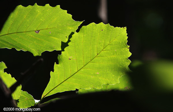 Sun-lit leaves in a North American broad-leaf forest