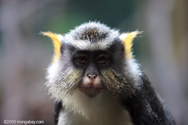 Wolf's Guenon (Cercopithecus wolfi)