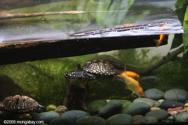 Indian Spotted Turtle (Geoclemys hamiltoni)