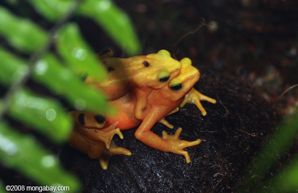 Panama golden frogs mating
