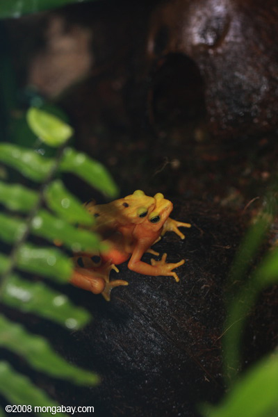 Panama golden frogs (Atelopus zetecki) mating