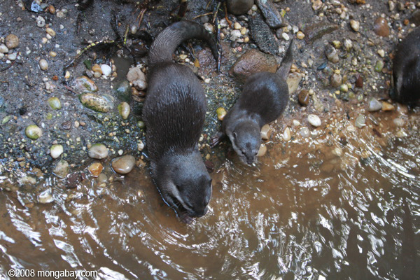 Oriental Small-clawed Otters (Aonyx cinerea)