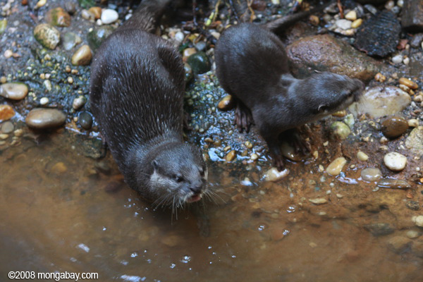 Asian Small-clawed Otters (Aonyx cinerea)