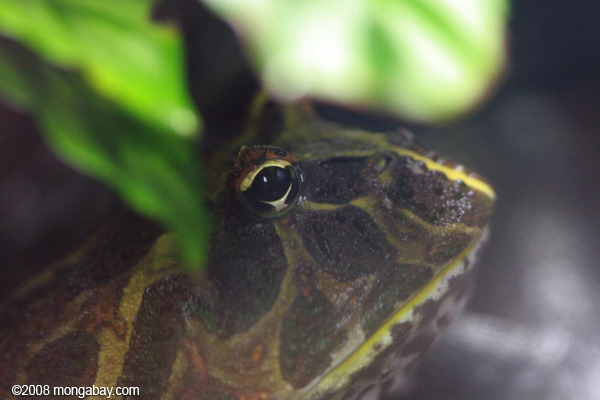 Cranwell's horned frog (Ceratophrys cranwelli)