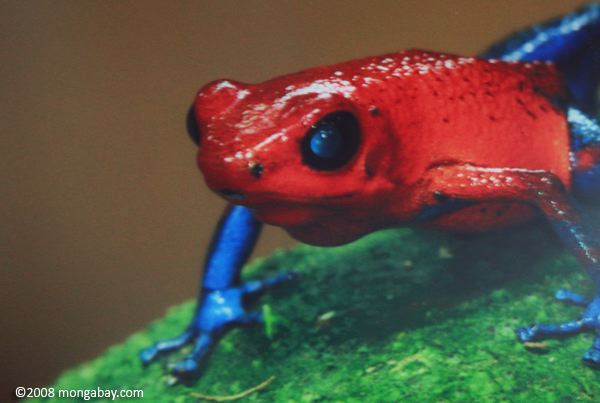 Red and blue poison dart frog (Dendrobates pumilio)