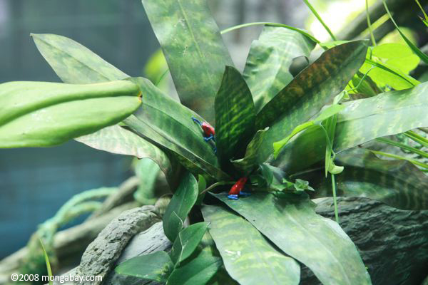 Red and blue poison dart frogs (Dendrobates pumilio) modeled in a canopy bromeliad