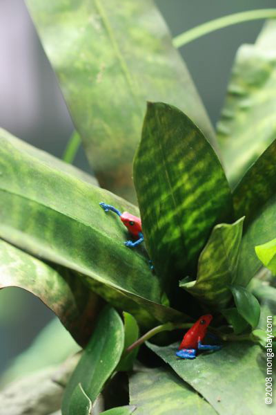 Red and blue poison arrow frogs (Dendrobates pumilio) modeled in a canopy bromeliad
