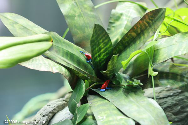 Strawberry poison dart frogs (Dendrobates pumilio) modeled in a canopy bromeliad