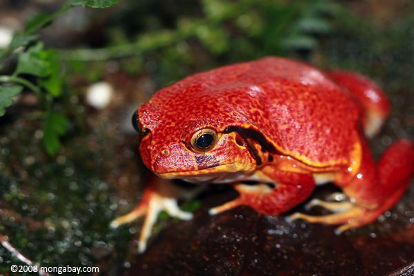 The endangered tomato frog in Madagascar