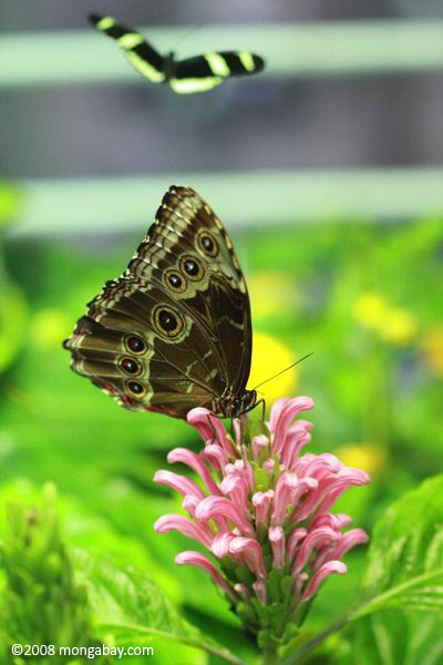 Blue Morpho (M. menelaus) with wings closed while resting on a pink flower