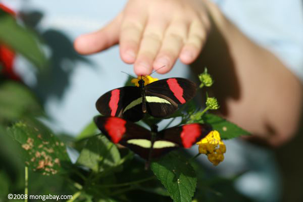Heliconius melpomene butterfly with child's hand