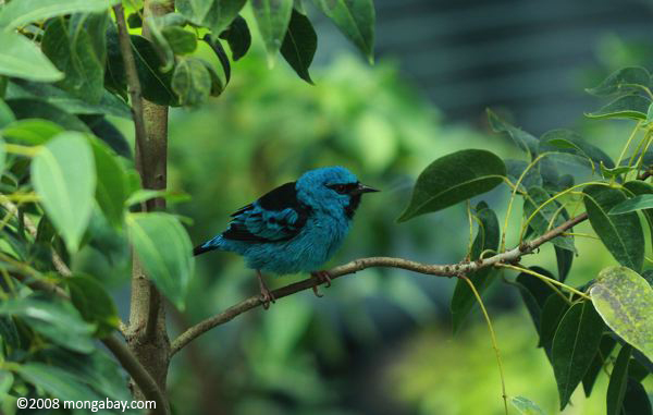 Turquoise Honeycreeper [Dacnis cayana] eating a fruit