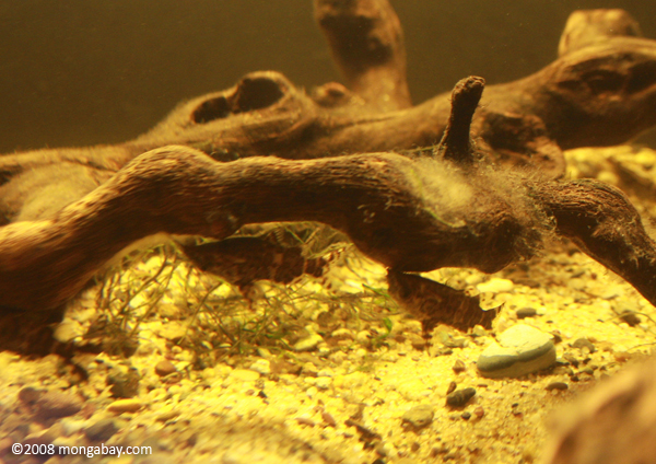 Upside Down Catfish (Synodontis nigriventris) in West African biotope tank