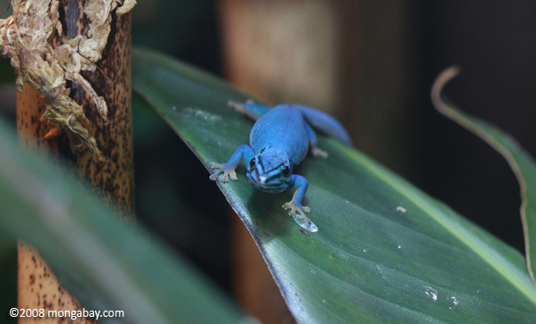 William's electric blue day gecko