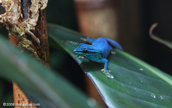 Electric blue gecko from Tanzania