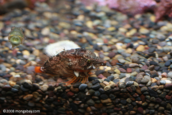 Grunt Sculpin with a Pacific Spiny Lumpsucker (Eumicrotremus orbis)