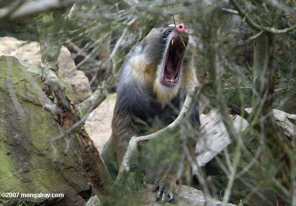 Male Mandrill (Mandrillus sphinx) showing its fangs
