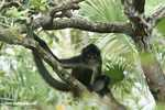 Spider monkey (local name in Belize: Venado)