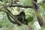 Female Long-haired Spider Monkey (Ateles belzebuth)
