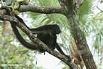 Female Spider Monkey (Ateles belzebuth)