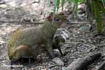 Mother Agouti (Dasyprocta punctata) with babies