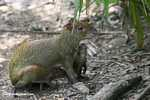 Mother Agouti with offspring