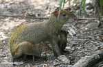 Mother Agouti nursing her offspring