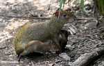 Mother Agouti nursing her babies