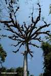 Epiphyte-laden branches of a giant Kapok tree (Ceiba pentandra) at Tikal