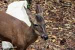 White tail deer (Odocoileus virginianus) [local name: Venado]