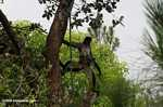 Male spider monkey standing