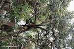 Spider monkey hanging with its prehensile tail