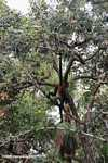Spider monkey using its prehensile tail to hang
