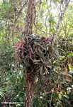 Unknown epiphyte