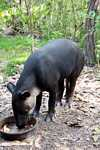Male tapir at the Belize Zoo