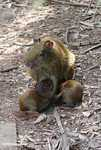 Mother agouti with babies