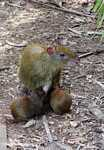 Mother agouti nursing her young