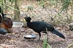 Male Great Curassow (Crax rubra) at the Belize Zoo