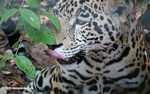 Jaguar (Panthera onca) licking its lips