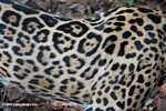 Jaguar coat