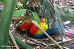 Scarlet macaw digging in the soil