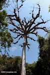 Epiphyte-laden kapok tree