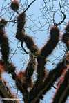 Epiphytes growing densly on the branches of a ceiba tree