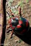 Dark green beetle with red spots