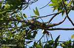 Green iguana eating leaves in the canopy