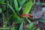 Orange and rust-colored centipede